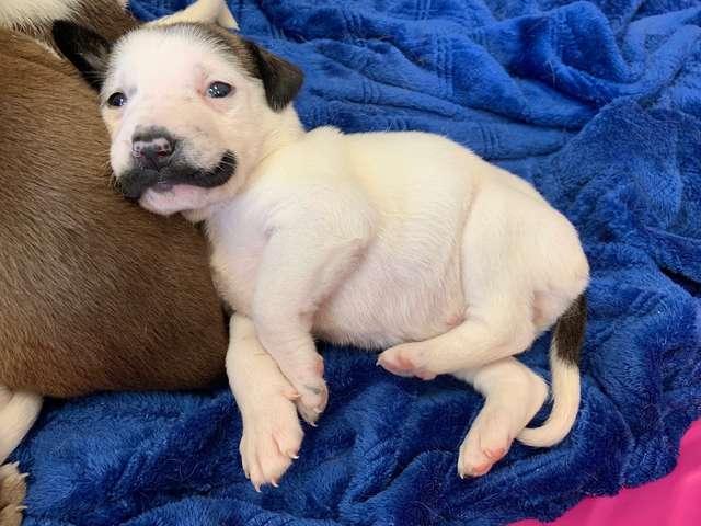 """Cachorro blanco """"con bigote"""""""