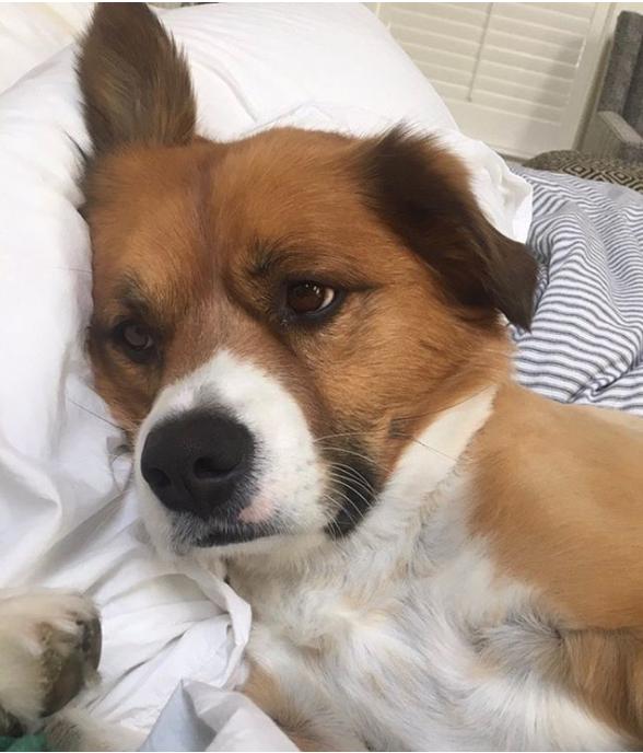 Dodger, perro de Chris Evans