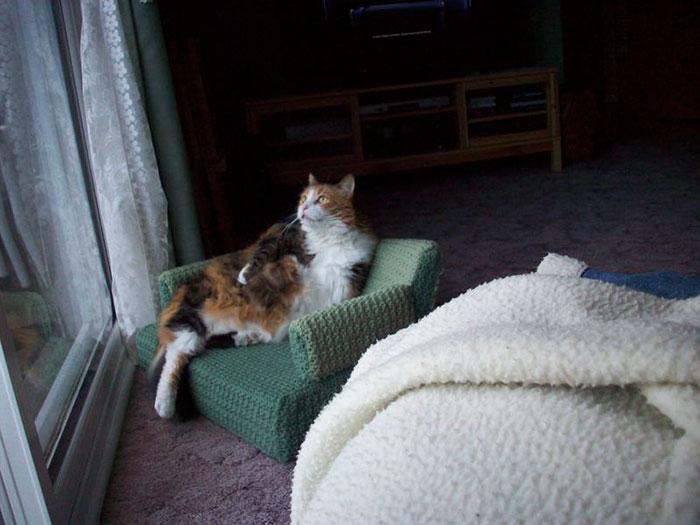 Gatito pelo largo color blanco, café y negro está acostado en sillón verde