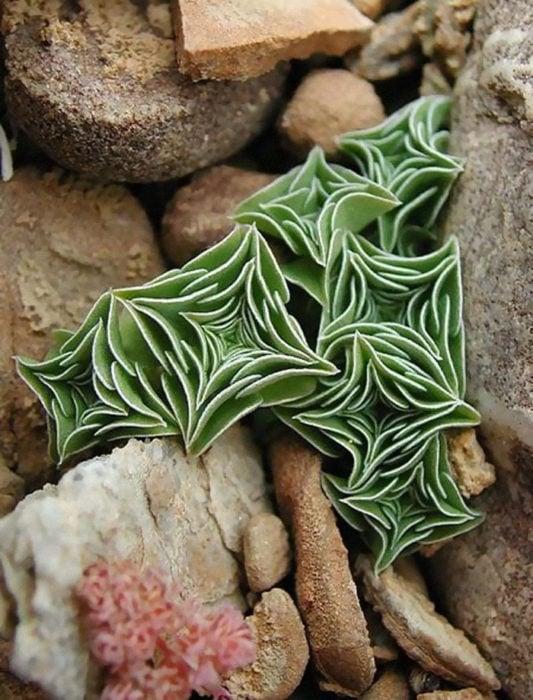 Suculenta del tipo Gentiana Urnula