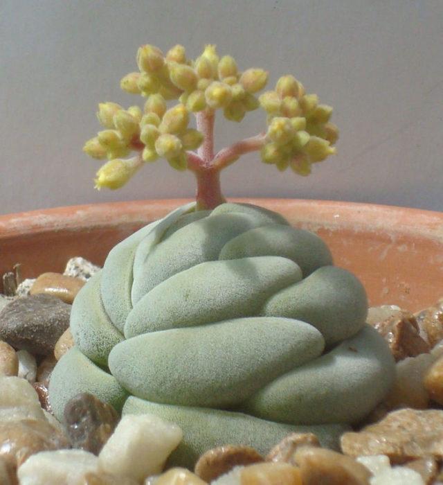 Suculenta de tipo árbol de bonsai