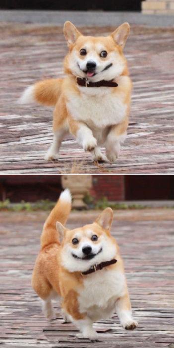 Perrito corgi haciendo caras graciosas