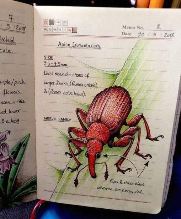 Dibujo de un escarabajo rojo realizado por Jo Brown con lapices de colores