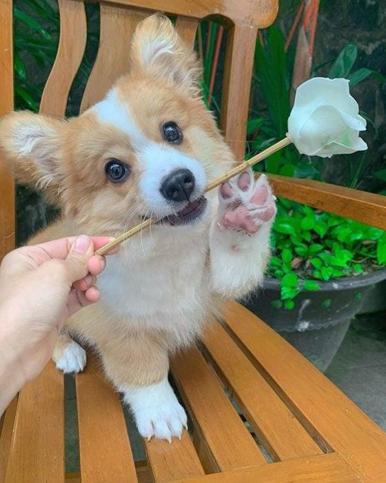 Baby, cachorro corgi con una rosa