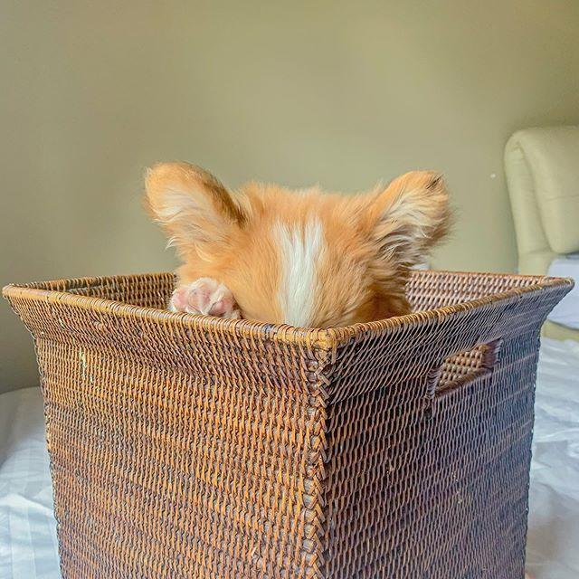 Baby, cachorro corgi en una caja
