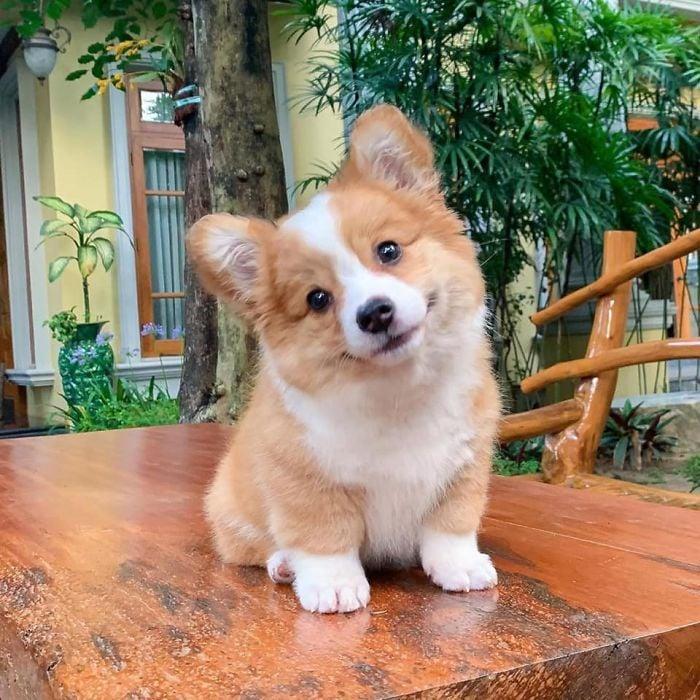 Baby, cachorro corgi