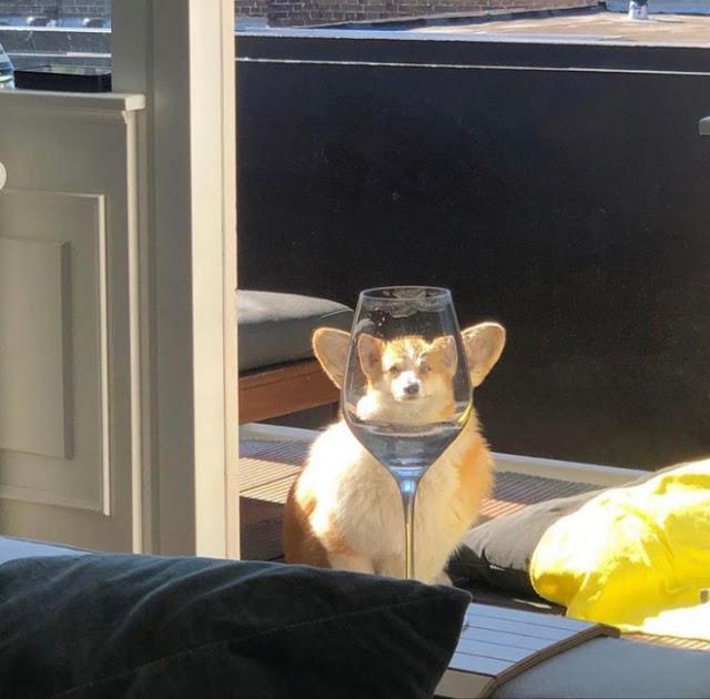 Fotografía distorsionada de perro corgi a través de una copa de vino