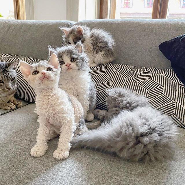 Gatos devon rex en el sofá
