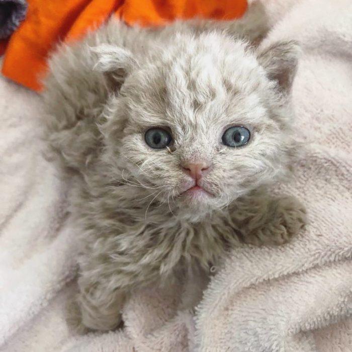 Gatito devon rex pelo rizado blanco