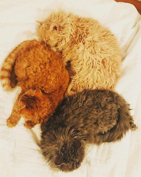 Gatos devon rex gris, café y naranjadormidos