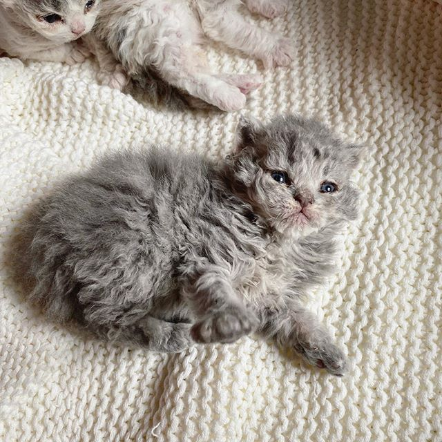 Gatito devon rex gris acostado