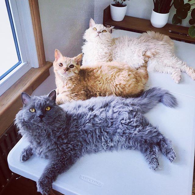 Gatos devon rex gris, amarillo y blanco