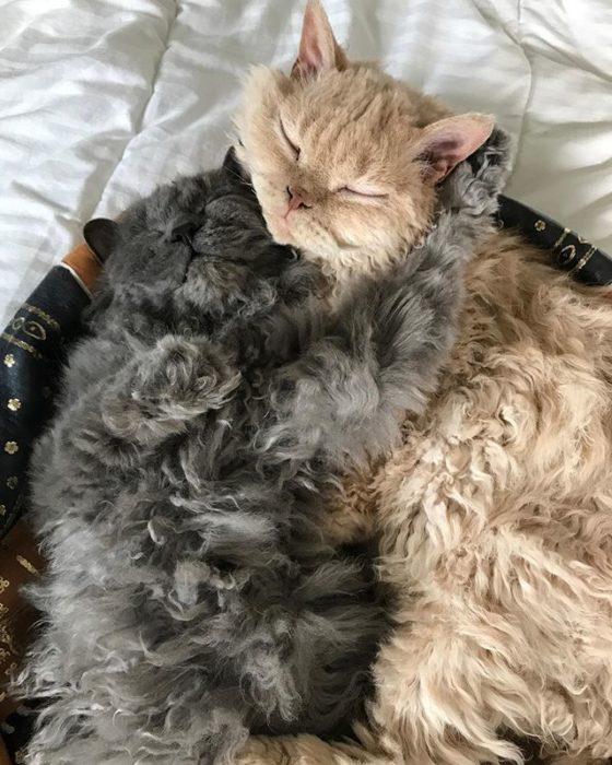 Gatos devon rex gris y café dormidos