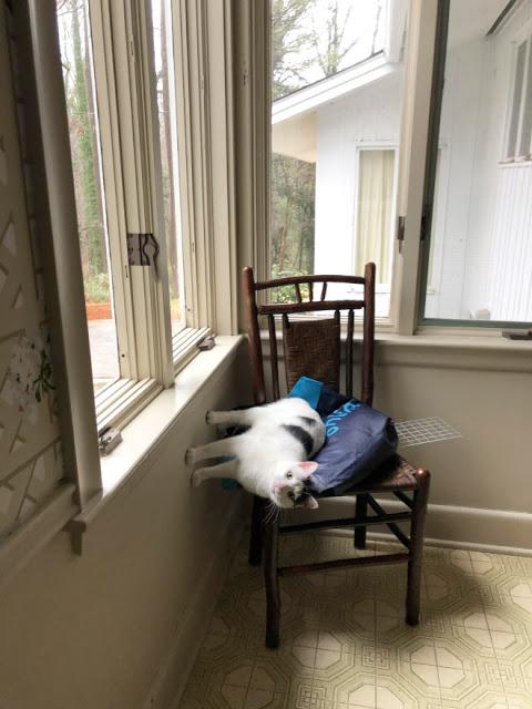 Gato blanco con negro parado entre pared y sillas