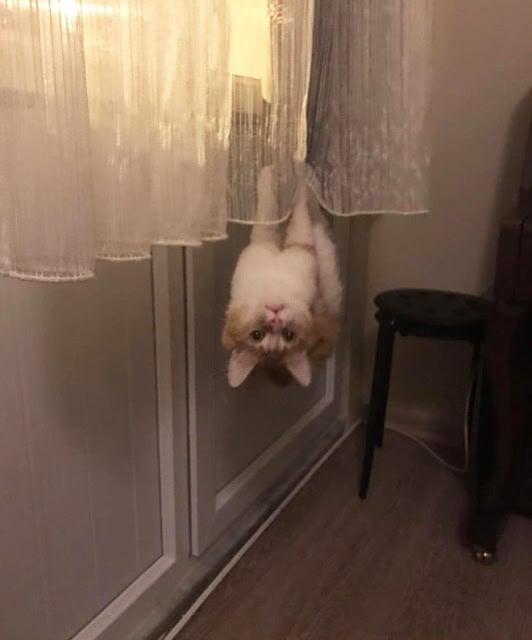 Gato colgado de cabeza en una cortina blanca