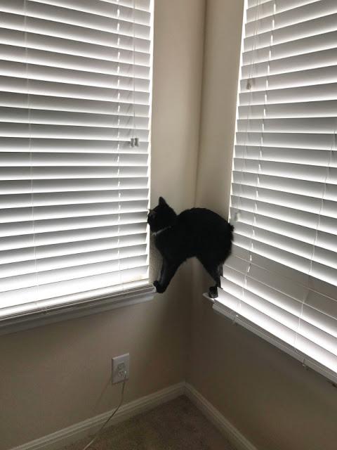 Gato negro parado entre dos persianas blancas