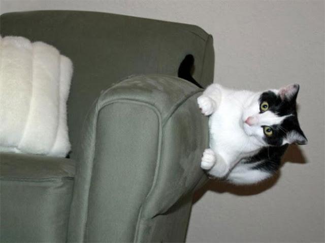 Gato blanco con negro acostado en un sillón