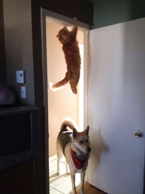 Gato naranja colgado en parte superior de puerta