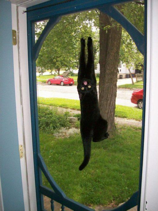 Gato negro colgado de malla de puerta