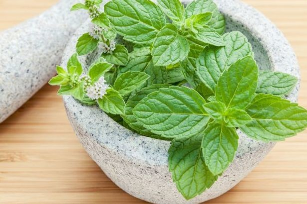 Mint leaves in a gray pot