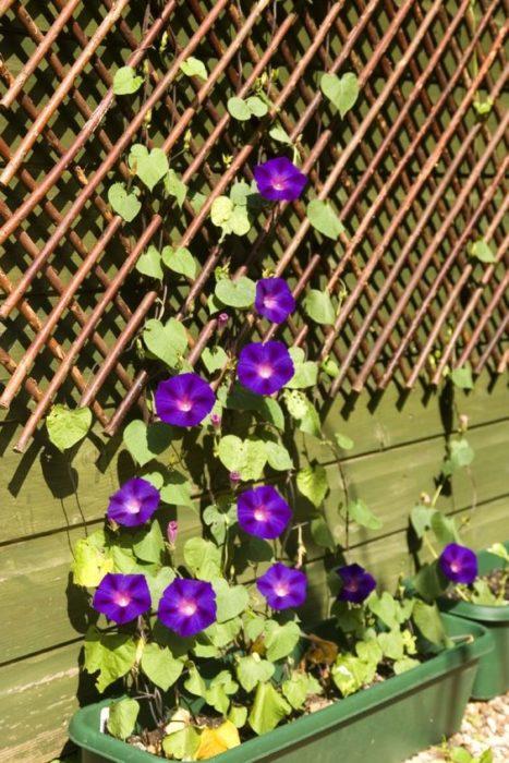 Ipomea purpureaen maceta con soporte para que trepe