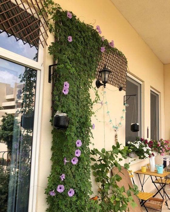 Ipomoea cairica en franja de pared decorando el patio
