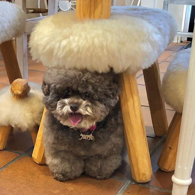 Kokoro, perrito café esponjoso debajo de una silla