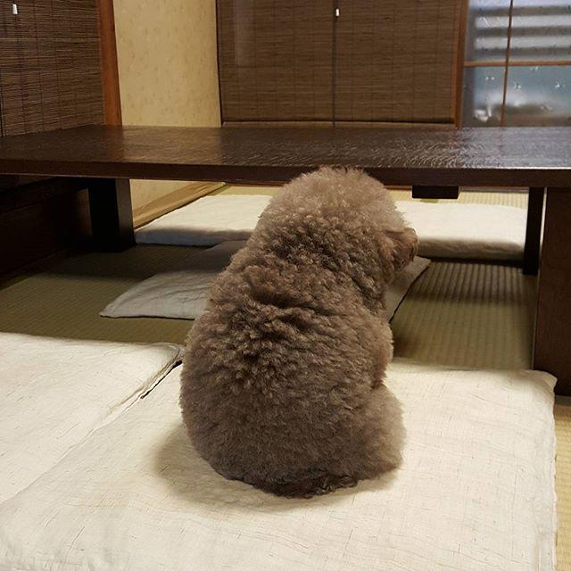Kokoro, perrito café esponjoso de espaldas