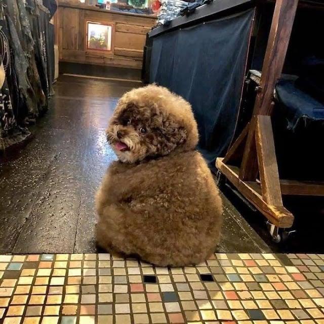 Kokoro, perrito café esponjoso sentado