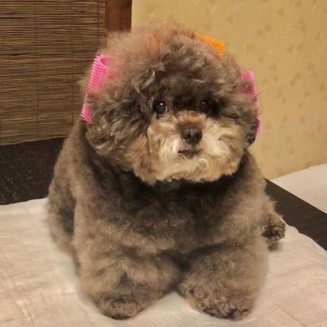 Kokoro, perrito café esponjoso con broches en el pelaje