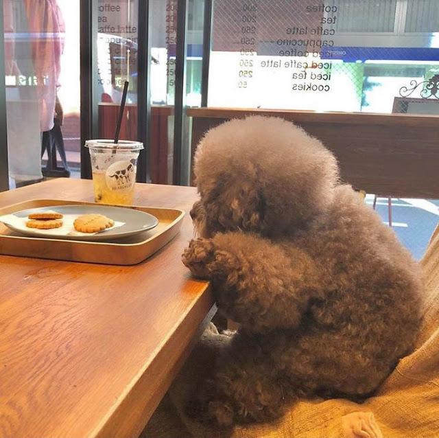 Kokoro, perrito café esponjoso sentado en una mesa