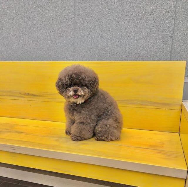 Kokoro, perrito café esponjoso sentado en un banco amarillo