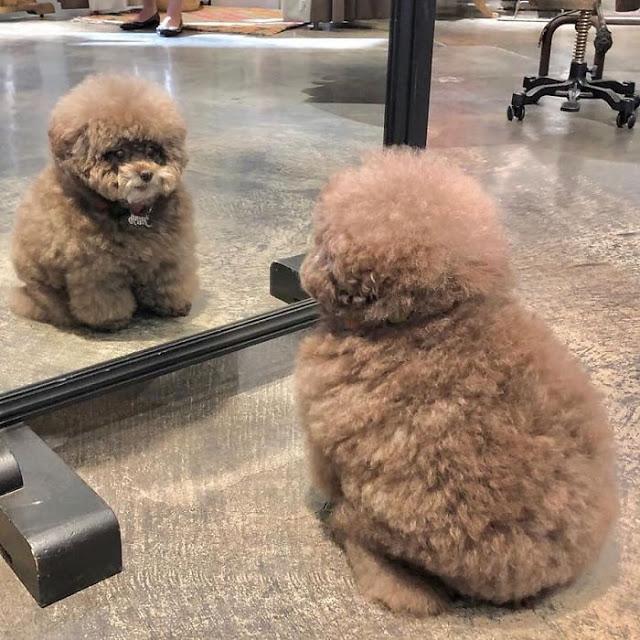 Kokoro, perrito café esponjoso viéndose al espejo