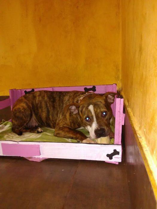 Perro pitbull acostado en camita color rosa