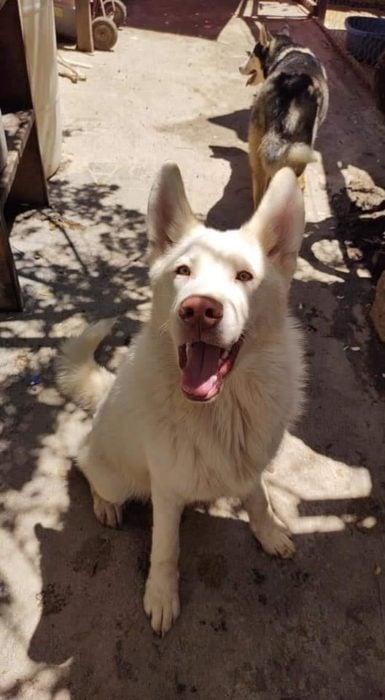 Simón perro husky grande sentado y posando para una fotografía