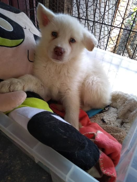 Simón, perro Husky blanco, dentro de una canasta plástica en un albergue animal