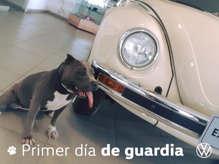 Perra pitbull vochita
