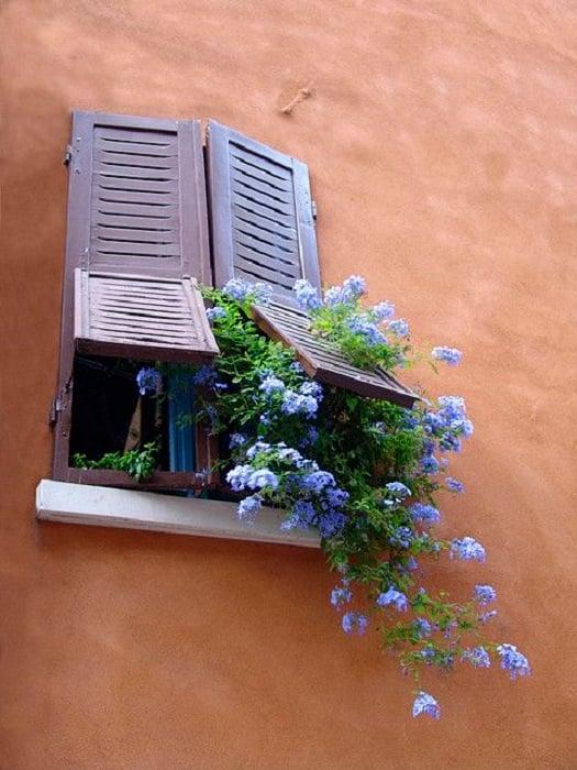 Plumbago saliendo de la ventana de una casa