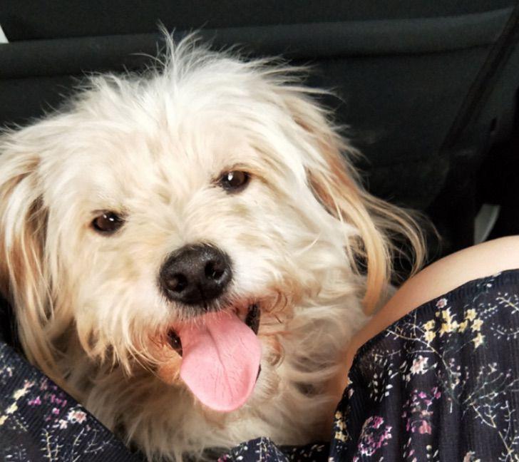 Dou Dou, perrito de pelaje blanco viajando en un auto con sus dueños, la familia Qiu