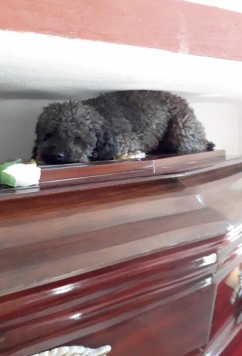 Benito, frenshpoodle de pelaje negro recostado sobre el ataúd de Johanna