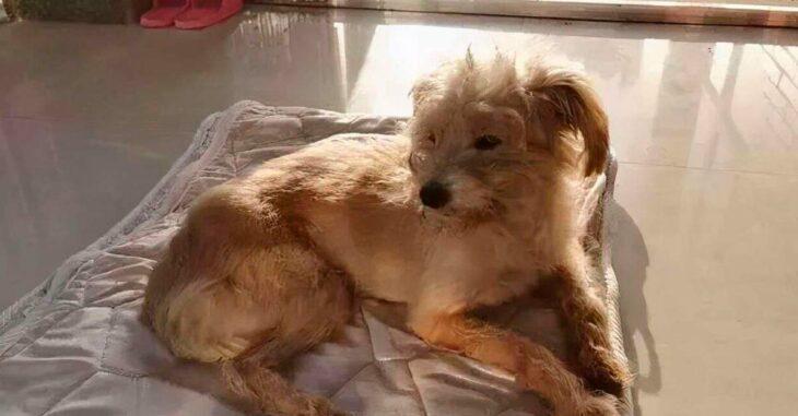 Dou Dou, el perro que caminó durante 26 días para volver con su familia, descansando en un tapete dentro de su casa