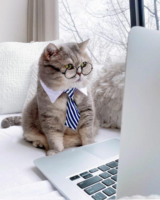 Benson, el felino a la moda; gato gris con rayas negras vestido con lentes de aumento redondos, corbata azul y blanca, en laptop