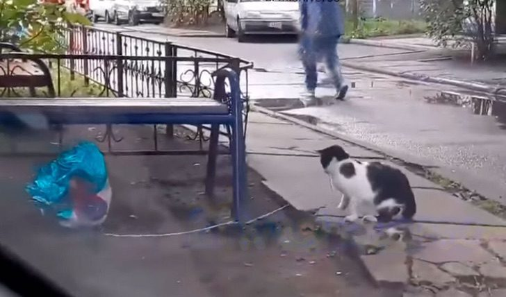 Gato blanco con manchas negras encuentra globo de helio azul en forma de corazón en la calle