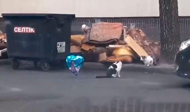 Gato blanco con manchas negras encuentra globo de helio azul en forma de corazón en la calle y se lo lleva a otro gato blanco con manchas cafés