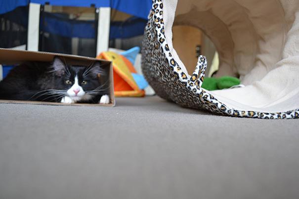 Gato negro con café metido dentro de una caja de cartón y al lado un tubo de juegos animal print para gatos