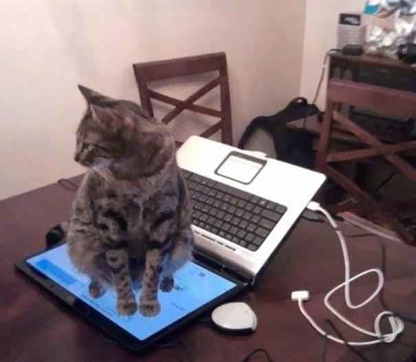 Gato café con manchas negras sentado arriba de la pantalla de una laptop