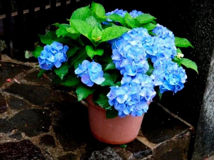 Hortensias azules en maceta de barro
