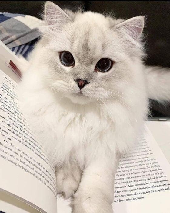 Gato blanco de pelaje largo con pupilas negras dilatadas recostado sobre un libro abierto
