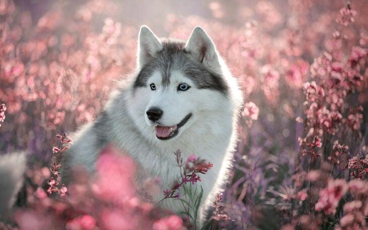 Perro husky  blanco con gris en medio de un campo de flores rosas