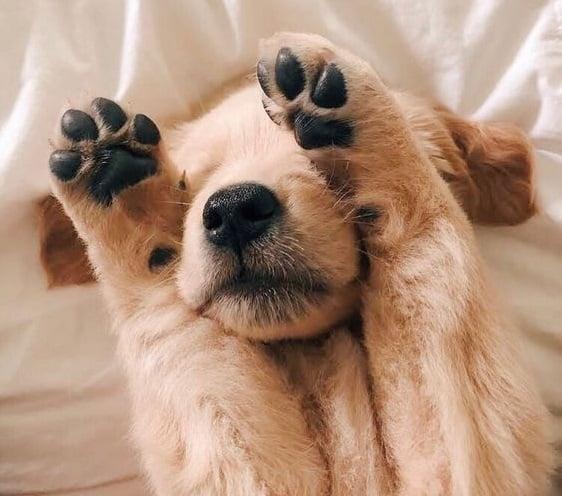 Cachorro golden retriever tapándose los ojos con sus patas